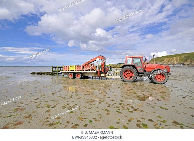 blue mussel, bay mussel, common mussel, common blue mussel (Mytilus edulis), mussels harvesting by a tractor at ebb-tide, France, Brittany, Jospinet