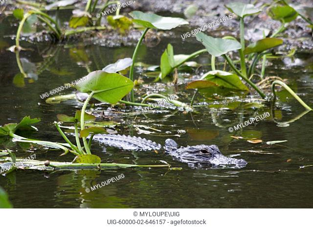 Alligators are in abundance at the base of the Shark Valley Observation Tower in the Everglades National Park in Florida