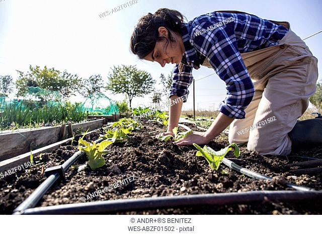 Woman working on farm planting lettuce