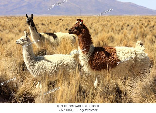 Llamas in the vicinity of Tahua village in Bolivia  Salar de Uyuni in the background