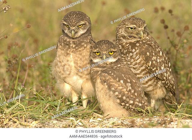 Burrowing Owl Athene cunicularia Marco Island,Fl 5/06 Digital capture