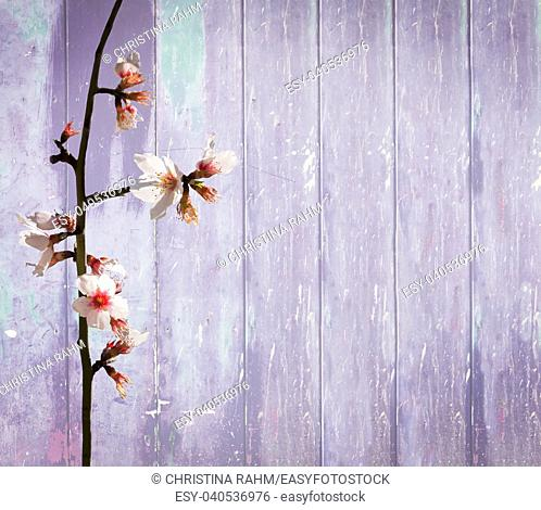 Blue wood background spring almond flowers with shabby distressed grungy texture hippie style