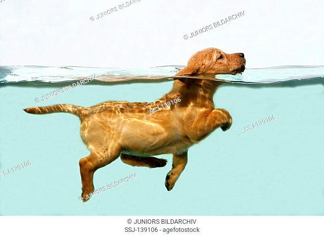 Labrador Retriever puppy - swimming