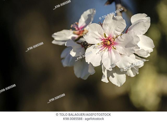 almendro en flor, Llucmajor, Mallorca, balearic islands, Spain