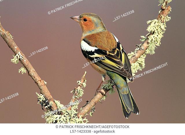 Chaffinch, Fringilla coelebs, chaffinch, Buchfink, Scotland