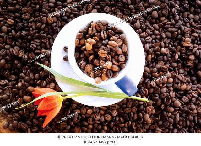 Coffee beans in a coffee cup and saucer, tulip