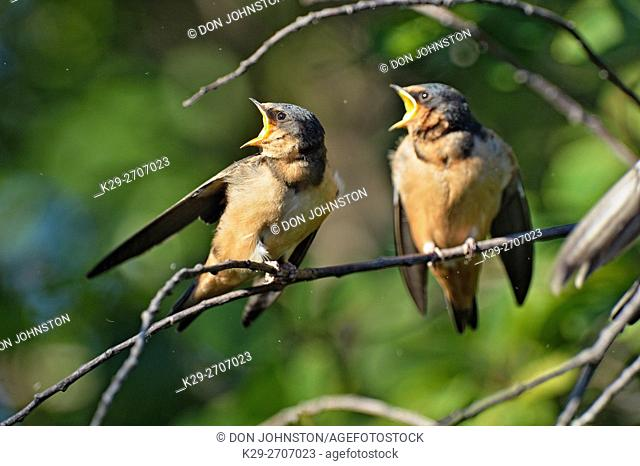 Barn swallow (Hirundo rustica) Fledglings out of the nest being fed by parent bird, Buffalo Pound Provincial Park, Saskatchewan, Canada