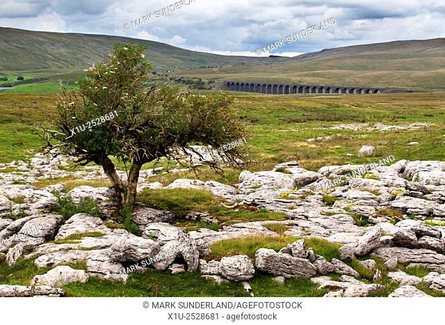 Lone Tree at Sleights Pasture Rocks with the Ribblehead Viaduct Beyond Ribblehead Yorkshire Dales England
