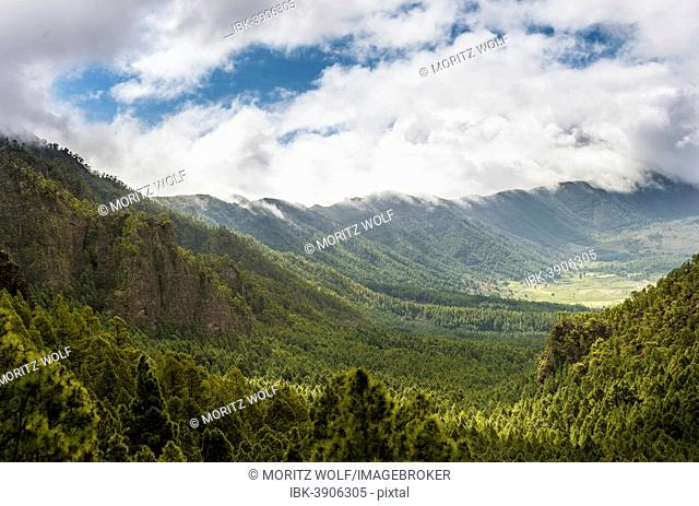 View across a valley covered with Canary Island Pines (Pinus canariensis), Caldera de Taburiente National Park, La Palma, Canary Islands, Spain