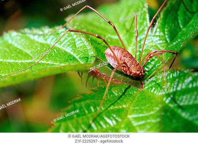 Harvestman in the sun waiting for a prey. Phalangium oplio