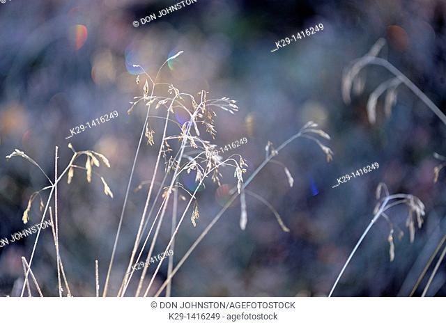 Tufted hairgrass Deschampsia cespitosa with morning frost Greater Sudbury Ontario