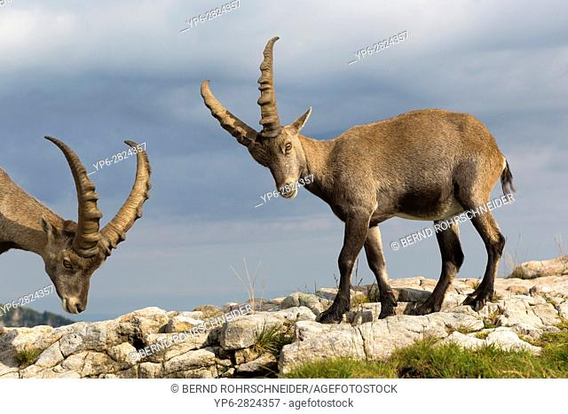 Alpine Ibex (Capra ibex), two adult males standing on rock, Niederhorn, Bernese Oberland, Switzerland
