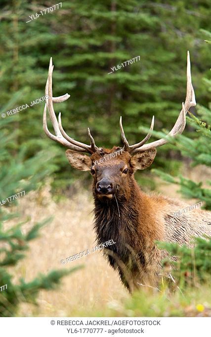 A bull elk Cervus canadensis peers through the trees in Jasper National Park, Alberta, Canada