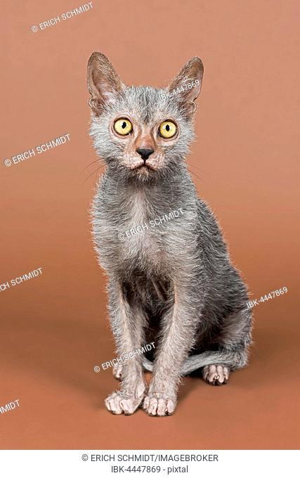 Werewolf cat, Lykoi, kitten, 6 months, studio shot