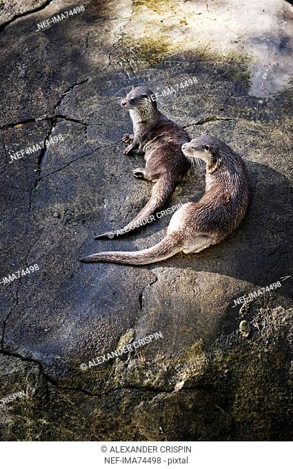 Otters on a rock, Sweden