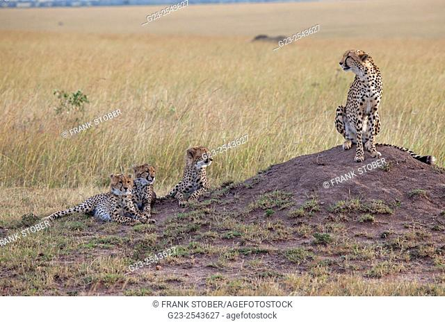 Three young cheetah and mother. Maasai Mara National Reserve, Kenya