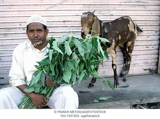 A muslim man is feeding his he-goat. In a Jaipur street, India