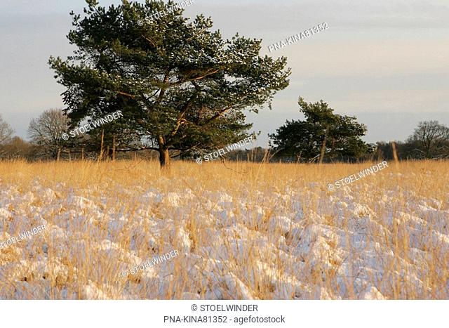 Scots Pine Pinus sylvestris - National Park Drents-Friese Wold, Doldersummerveld, Doldersum, Drenthe, The Netherlands, Holland, Europe