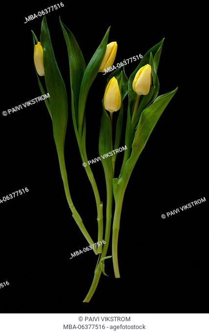 bloom,bunch,celebration,closeup,decoration,easter,flora,floral,flower,fresh,gift,green,leaf,natural,nature,petal,plant,pretty,romance,season,spring,tulip