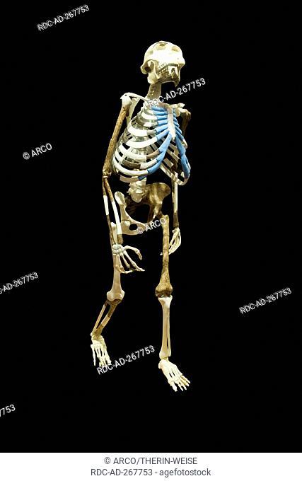 Replica of skeleton \'Dinknesh\', National Museum, Addis Ababa, Ethiopia / Australopithecus afarensis Lucy / Wonderful
