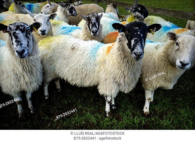 Flock of sheep looking at camera painted with different colors. Grassington, Skipton, North Yorkshire, England, UK