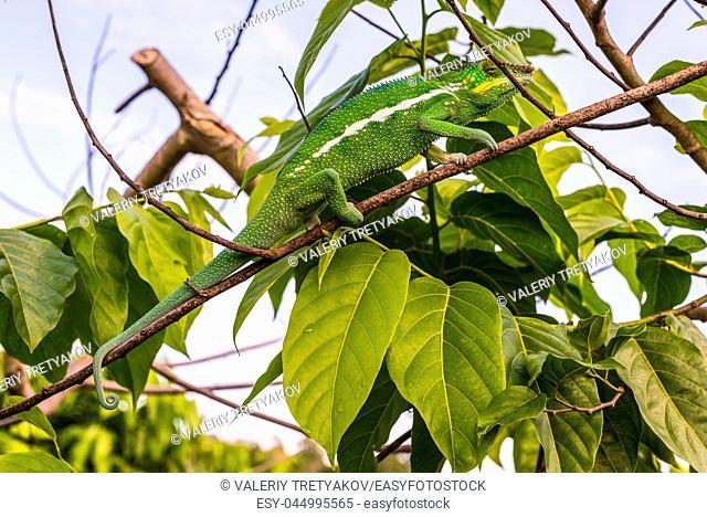 Chameleon sitting on a branch Ylang Ylang, Madagascar