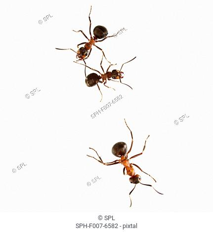 Wood ants (Formica sp.)