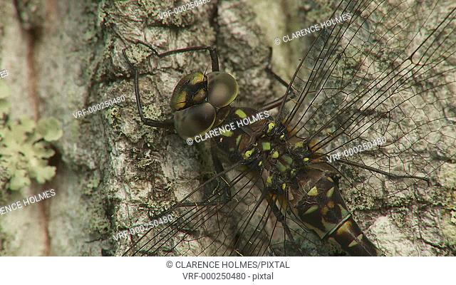 A female Harlequin Darner (Gomphaeschna furcillata) dragonfly perches on the trunk of a tree in spring