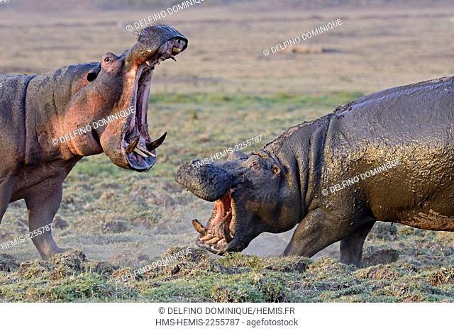 Kenya, Masai Mara Reserve, Hippopotamus amphibious (Hippopotamus amphibius), confrontation between two adults out of the water in the savannah