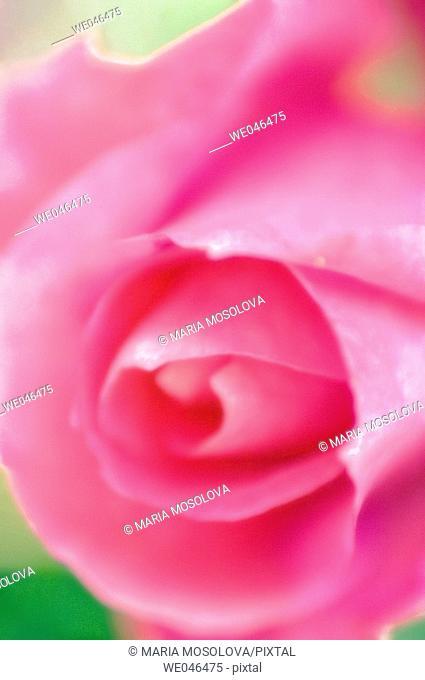 Pink Rose. Rosa hybrid, May 2006. Maryland, USA