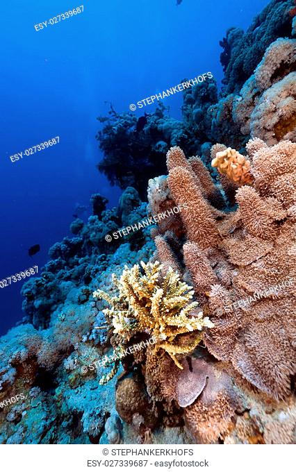 Porites solida and tropical reef in the Red Sea