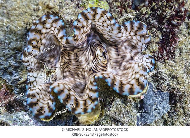 Open giant clam, Tridacna spp, on Tengah Kecil Island, Komodo National Park, Flores Sea, Indonesia