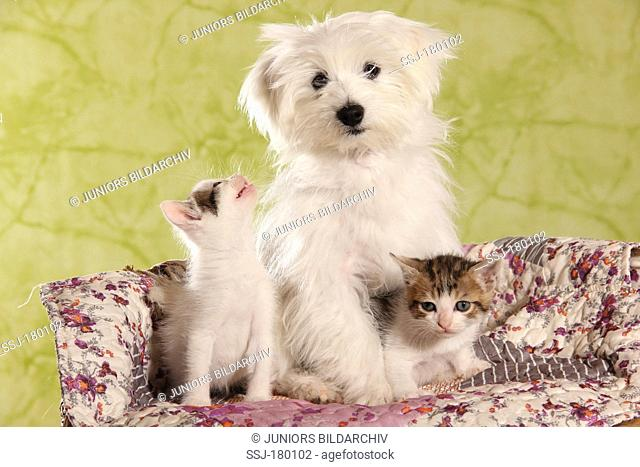 Young Maltese with two kittens sitting on a pet bed