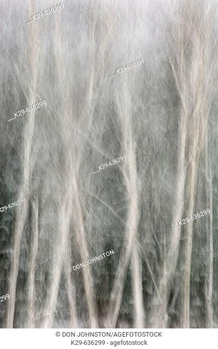 Frosted birch trees- camera movement