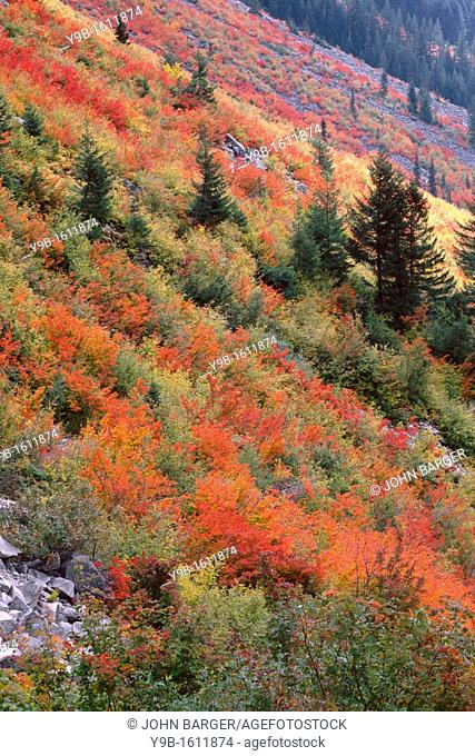 Vine maple and mountain ash display autumn color on slopes with scattered conifers, Stevens Canyon, Mt  Rainier National Park, Washington, USA