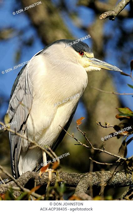 Black crowned night heron Nycticorax nycticorax, St. Augustine Alligator Farm Zoological Park, Florida, United States of America