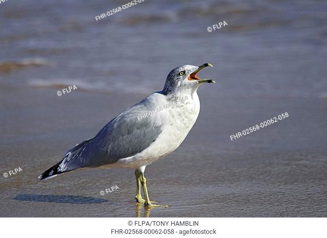Ring-billed Gull Larus delawarensis adult, calling, display posture, standing on beach