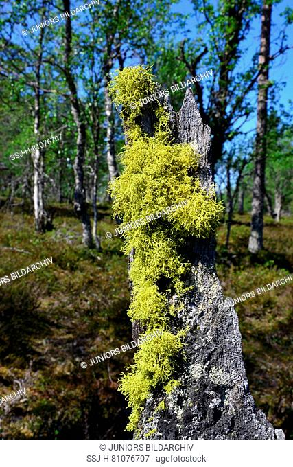 Wolf Lichen (Letharia vulpina) on the bark of a dead tree. Former used as a poison for wolves and foxes. Germany
