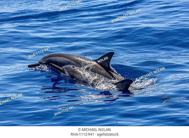 Hawaiian spinner dolphins (Stenella longirostris), AuAu Channel, Maui, Hawaii, United States of America, Pacific