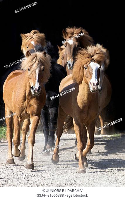 Icelandic Horse. Herd trotting towards the camera. Austria