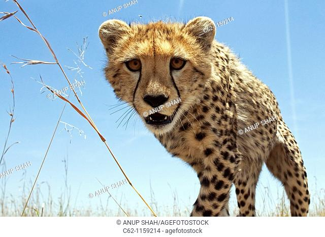 Cheetah (Acinonyx jubatus) adolescent peering curiously -wide angle perspective-, Maasai Mara National Reserve, Kenya