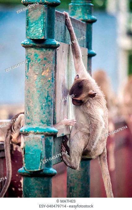 Monkeys in Lopburi, Thailand
