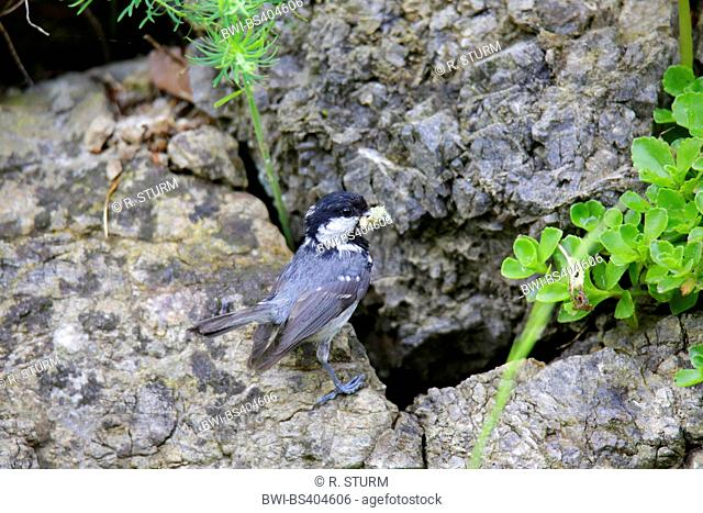 Coal tit (Periparus ater, Parus ater), bringing feed to the young birds in a crevice, Germany, Bavaria, Oberbayern, Upper Bavaria