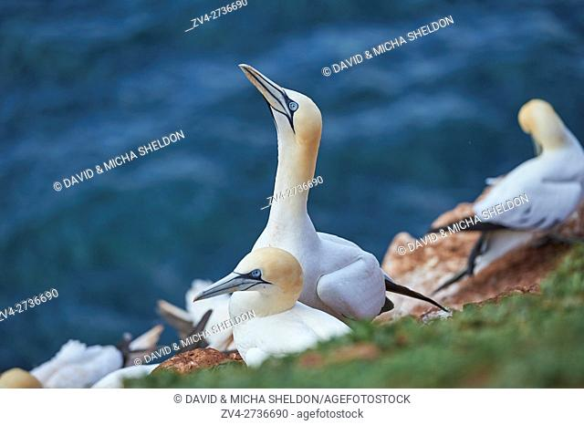 Close-up of Northern gannet (Morus bassanus) in spring (april) on Helgoland a small Island of northern Germany