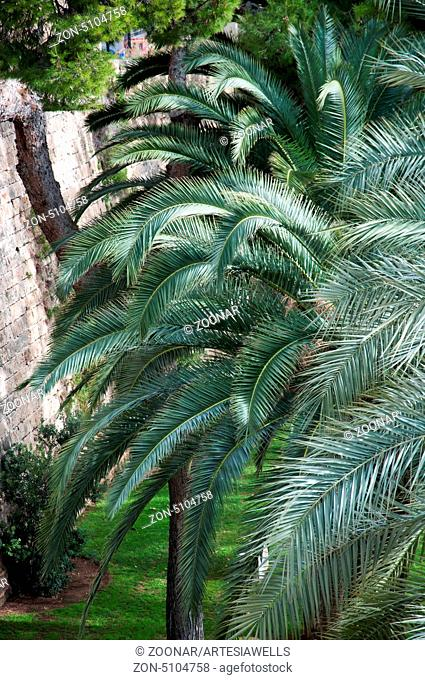 Palm branches and green grass in February in Palma de Mallorca