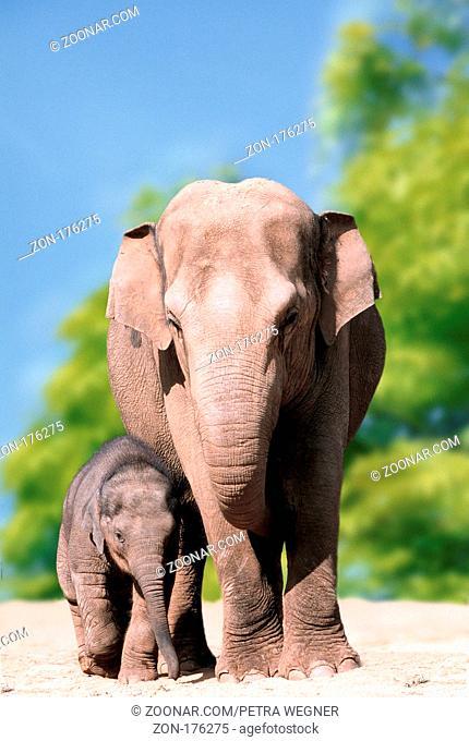 Asian Elephant with young  /  (Elephas maximus) /  Asiatischer Elefant mit Jungtier