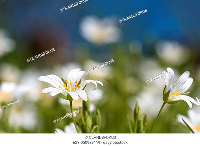 White summer flowers, stichwort, close up by a blurred background