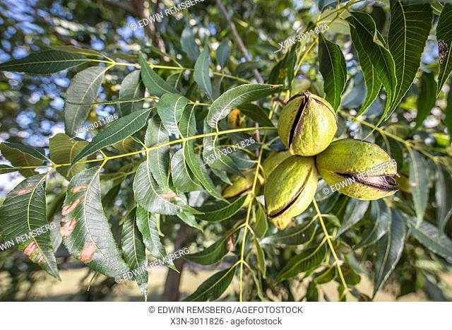 Group of pecans still on the tree ready to be harvested, Tifton, Georgia. USA