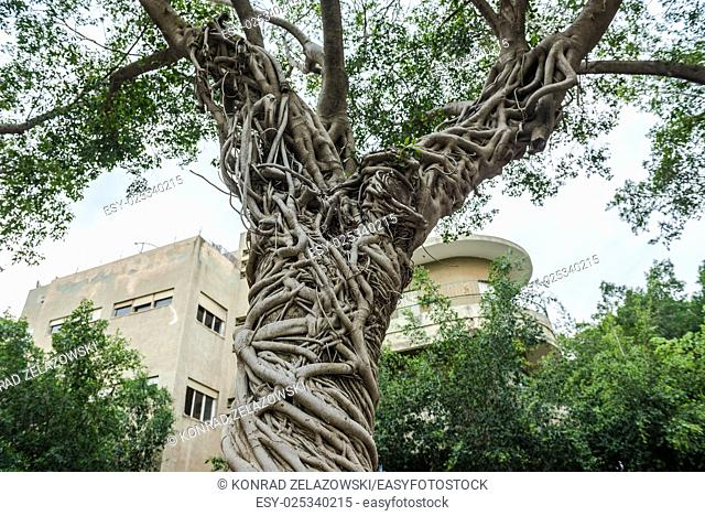 ficus tree in Tel Aviv city, Israel