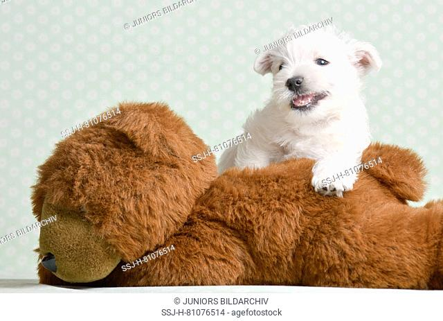 West Highland White Terrier. Puppy (4 weeks old) lying on a big Teddy bear. Studio picture. Germany